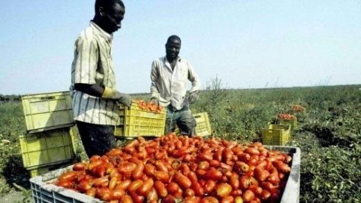 migranti raccolta pomodoro